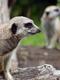 01673 meerkatwatch 1920x1080