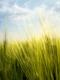 01893 springwheat 1920x1080