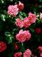 01911 roses 1920x1080