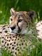 01975 cheetahbeauty 1920x1080