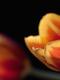 02252 tulips 1920x1080